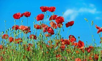 Beautiful Poppy Fields in the UK